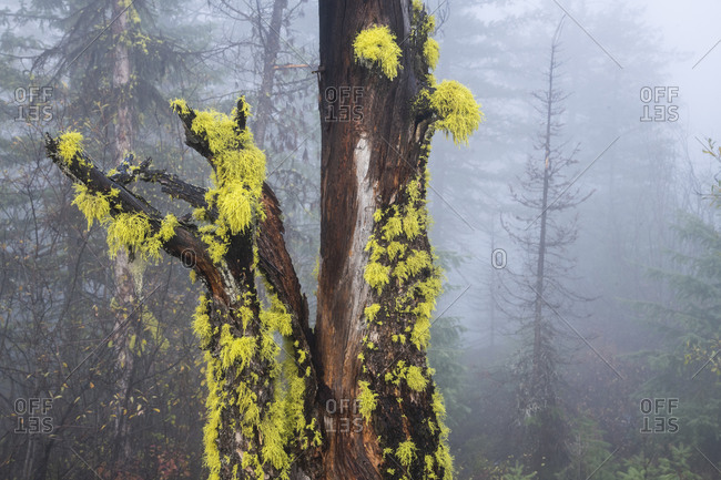 Old tree covered in vibrant lichen stands out in a forest above Rossland, British Columbia
