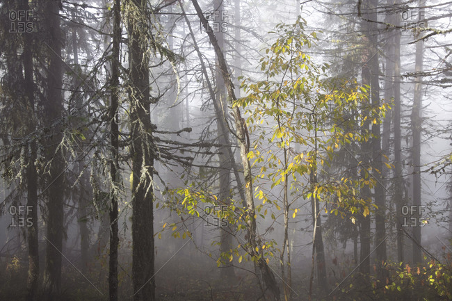 Fog filters through a forest in Rossland, British Columbia with dramatic effect