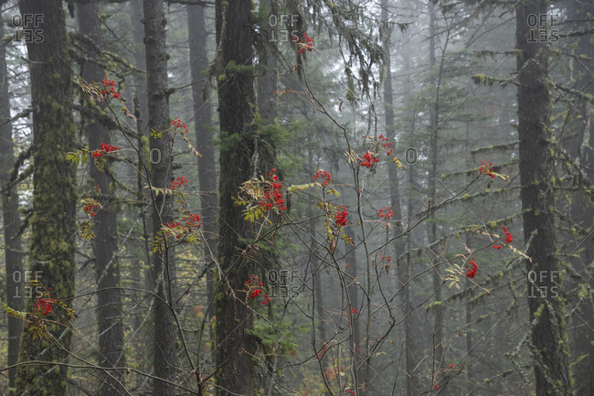 Red berries punctuate the greenery of a forest in Rossland, British Columbia