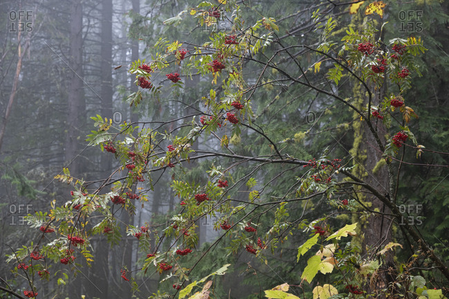 Red berries on a tree in a forest in Rossland, British Columbia