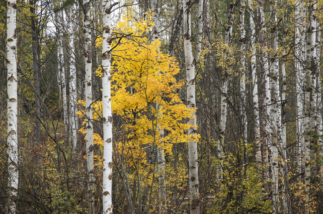 Yellow leaves accent a stand of birch trees in Rossland, British Columbia