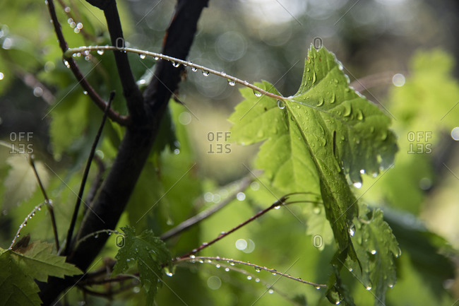 Water droplets dance along the arc of a leaf in Nelson, British Columbia