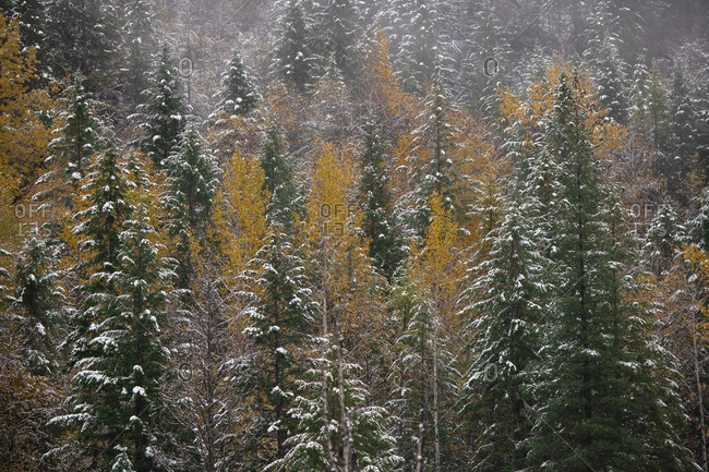 The first snowfall clings to the branches of alpine trees in fall color in the interior of British Columbia