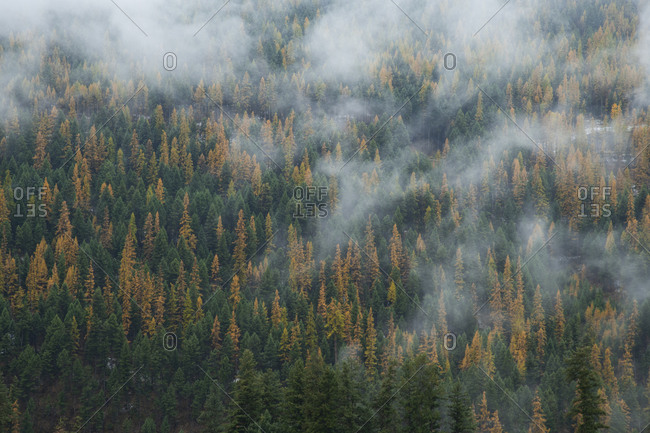 Cloud drapes across an alpine forest in fall color in British Columbia