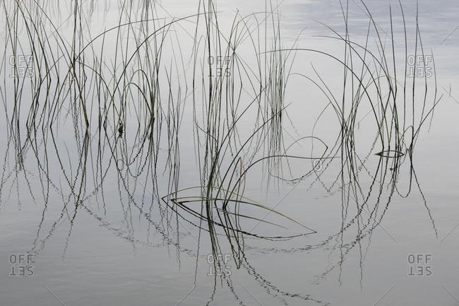 Lake reeds form impressionistic lines in Okanagan Lake, British Columbia