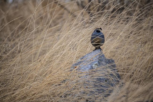A quail perches on a rock in a grassland Osoyoos, British Columbia
