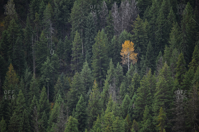 One yellow tree stands out in a forest of green in British Columbia