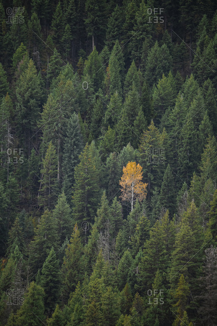 One yellow tree in a forest of green in fall in British Columbia
