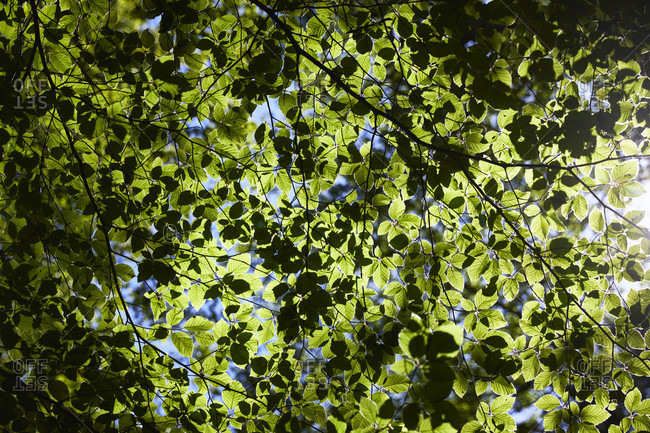 Forest, beech, leaf canopy from the Offset Collection