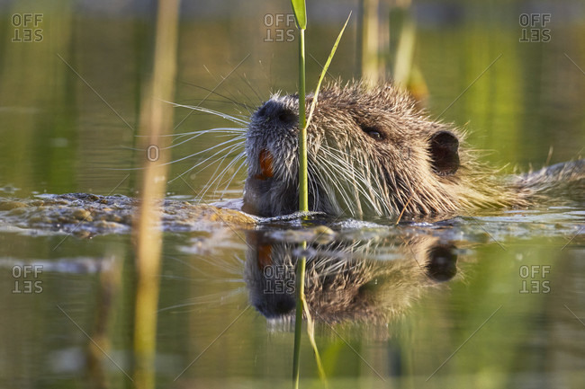 Nutria, Myocastor coypus from the Offset Collection
