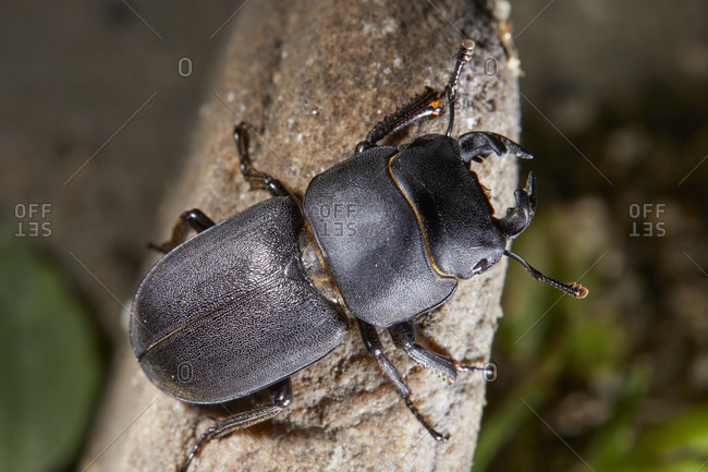 Beetles, beamed shrubs, Dorcus parallelipipedus