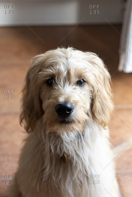 Young dog, Mini Goldendoodle, cross between miniature poodle and golden retriever
