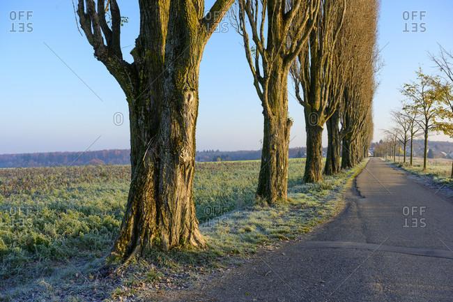 Germany, Baden-Wurttemberg, Karlsruhe, Black Poplar (Populus nigra) at the Thomashof.