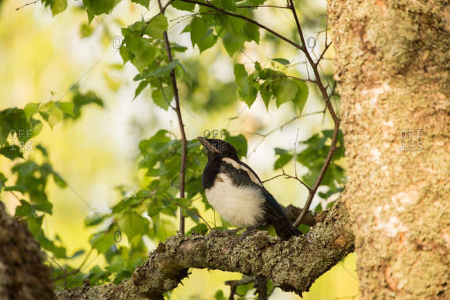 Magpie chick, natural outdoor setting