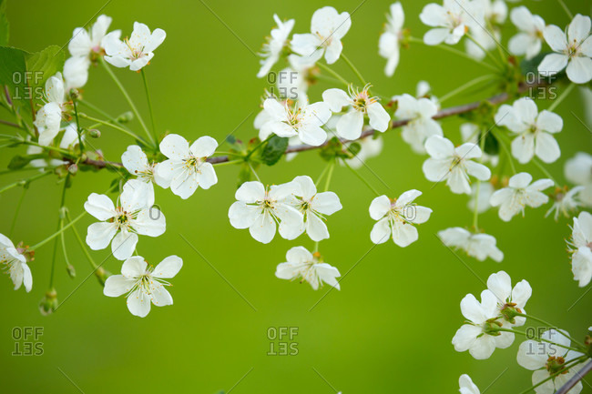White flowering cherry blossoms, bright green background, natural outdoor setting