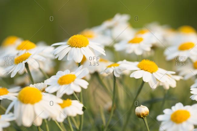 Argyranthemum frutescens blossom close-up, outdoor setting, green background