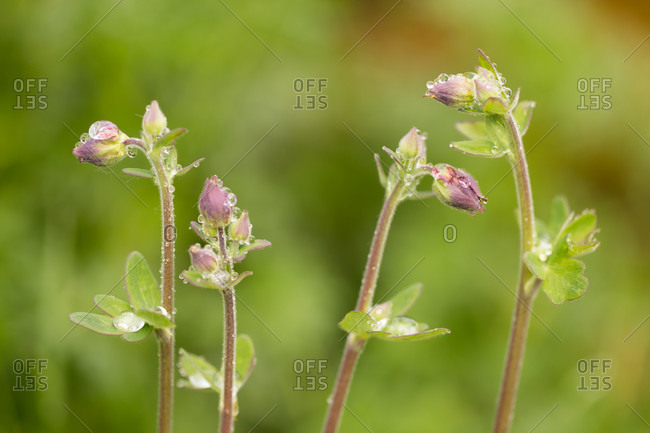 Close-up of dewdrops on budded flowers, green blurred background