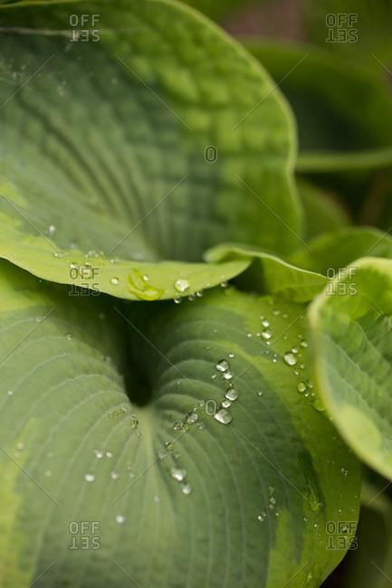 Raindrops on Hosta Perennial leaves