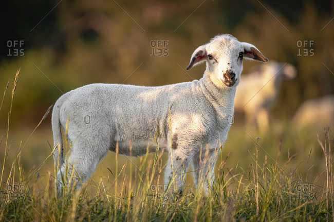 Lamb on the Swabian Alb, animal portrait, Zollernalbkreis, Baden-Wurttemberg, Germany, Europe