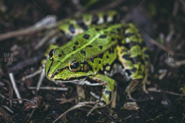 Pond frog, Pelophylax esculentus, Vorsee, Wolpertswende, Baden-Wurttemberg, Germany, Europe