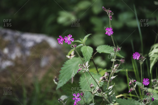 Wild purple flowers in the forest, Black Forest, Baden-Wurttemberg, Germany, Europe