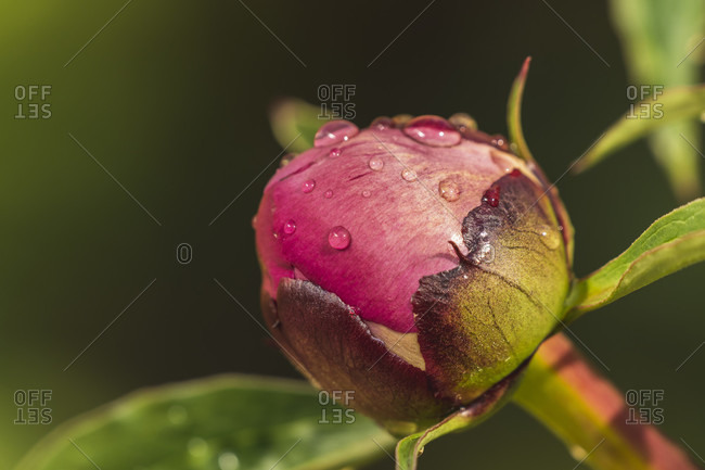 Peony, bud with raindrops, Paeonia, Germany, Europe