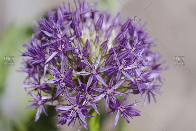 Giant leek, ornamental leek, ball leek, Allium giganteum, garden, nature