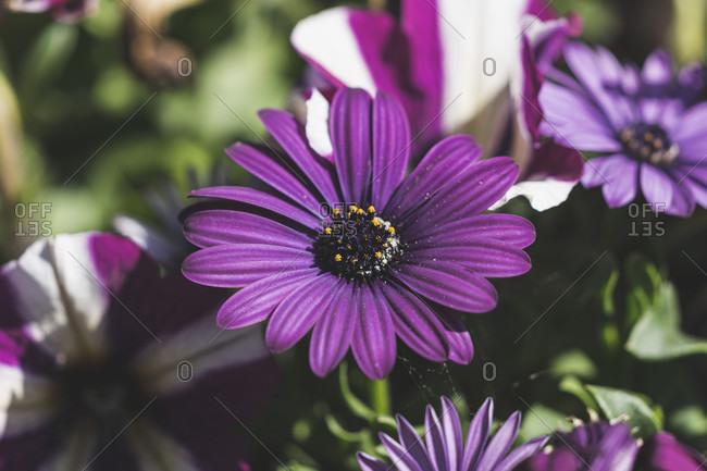 Purple flower, Cape Marguerite or African daisy (Osteospermum), bloom, garden