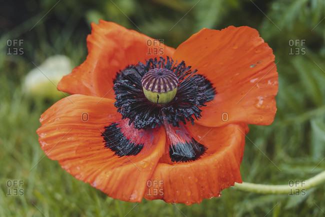 Poppy, blossom with raindrops, papaver, plant, garden, nature
