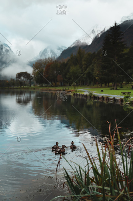 Three cute duck swimming together on a calm lake with autumnal trees and snowy mountains in background