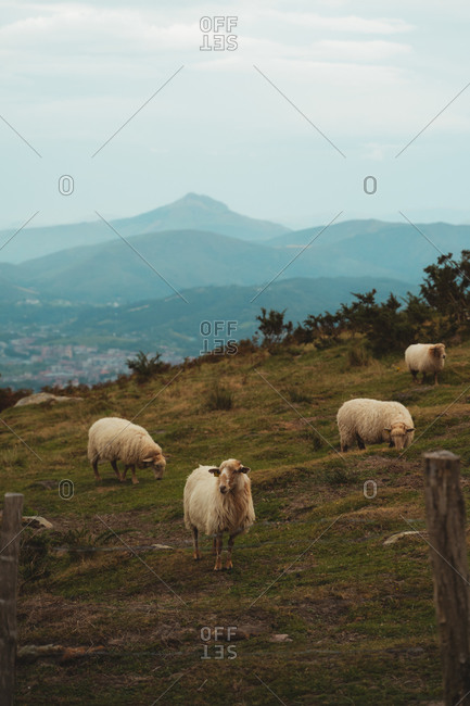 Cute sheep flock grazing and standing behind the fence in Basque Country