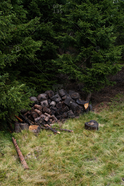 Pile of shabby firewood placed near green trees of coniferous forest in countryside