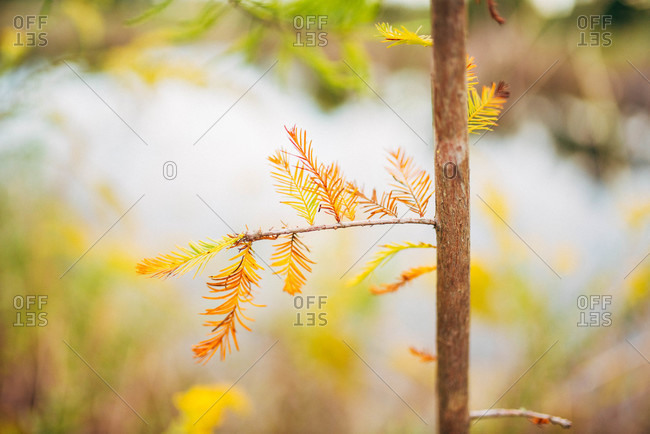 Pine tree with yellow needles in autumn by a pond