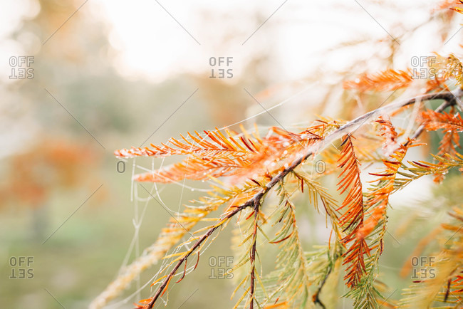 Spiderweb on a pine tree branch with orange needles in autumn