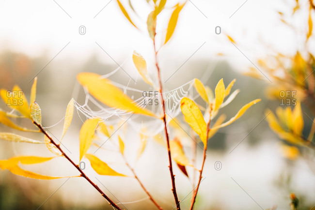 Yellow leafy plant covered in spiderwebs by a pond in autumn