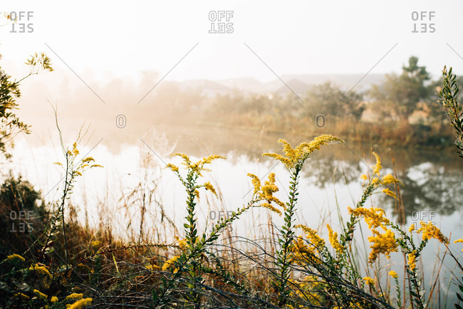 Yellow plants covered in spiderwebs by a pond in autumn