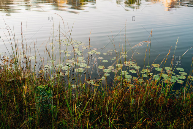Lily pads in a small pond