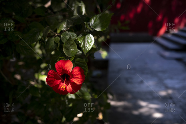 Red hibiscus flower against a red wall in Lisbon, Portugal