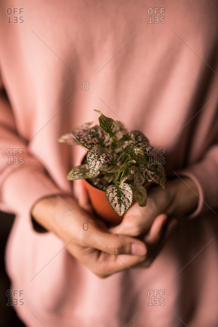 Close up of a woman holding a hypoestes pink polka dot plant
