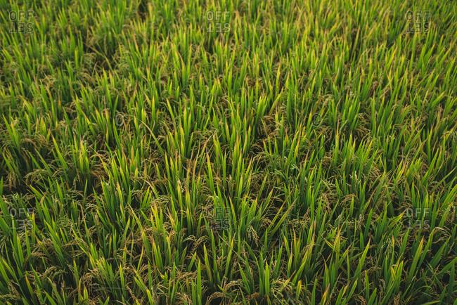 Close up of growing seeds of rice in green plantation in Hampi Island, India, Karnataka