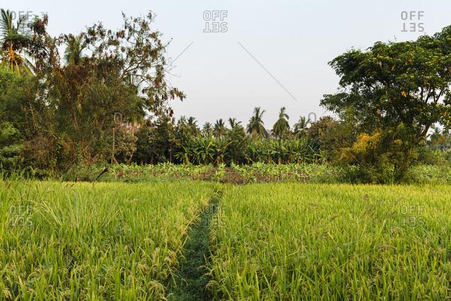 Path between rice fields and vegetables plantation at sunrise in Hampi Island, India, Karnataka