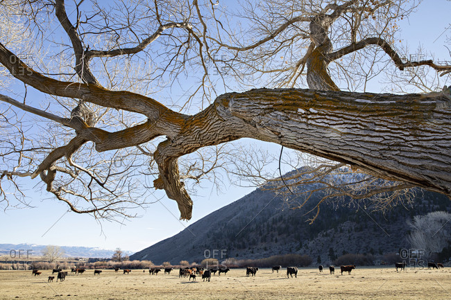 Farmland with herd of cattle in the mountains, Genoa, Nevada