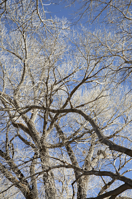 Low angle view of bare trees in winter in rural Nevada
