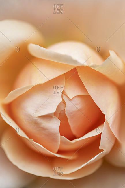 Macro shot of a beautiful peach rose