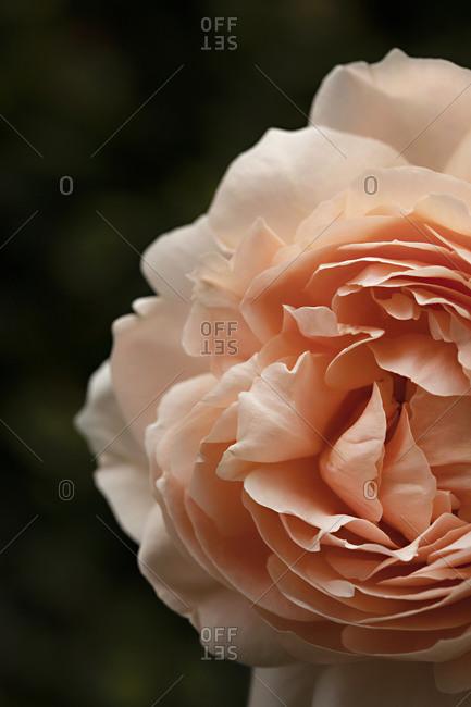 Macro shot of a beautiful peach rose in full bloom