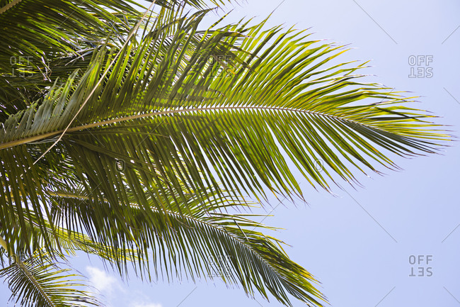 Low angle view of branches on a palm tree in the sunshine