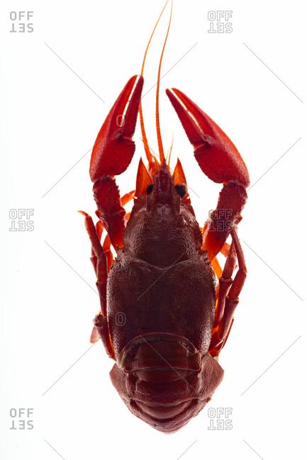 Macro image of back lit crayfish on white background