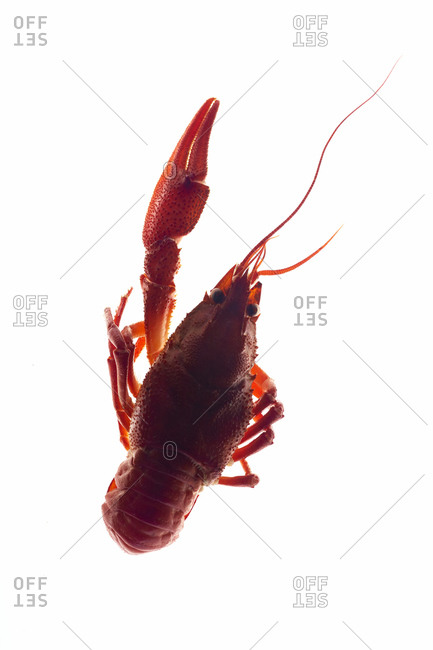 Macro image of back lit crayfish with one claw on white background
