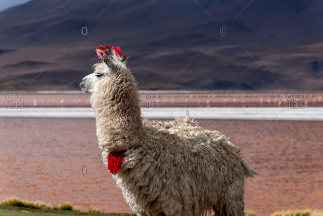 A llama (camelid native to South America) in a pink Lake of the altiplano in Bolivia