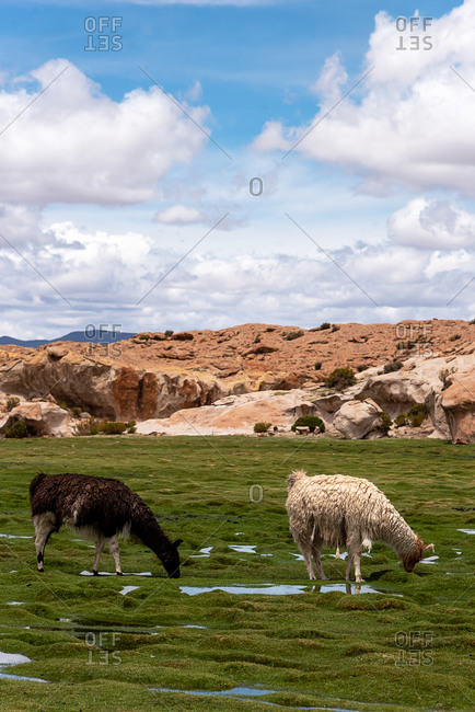 Some llamas (camelid native to South America), eating grass in the southwest of the altiplano in Bolivia